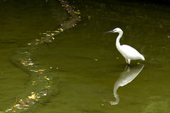 White Egret. Stands in water Royalty Free Stock Photography