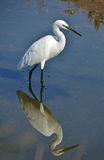 White egret. Portrait in the marsh Royalty Free Stock Images