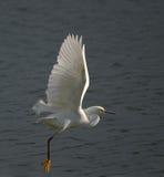 white egret Obraz Stock