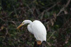 White egret. A white egret sitting on a branch Royalty Free Stock Photography
