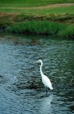 White egret Stock Photo