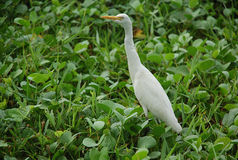 White Egret. This bird can be frequently met in India and Sri Lanka. Eats frogs, insects etc. Many of them can be seen on sanitary landfills (dumps Royalty Free Stock Image