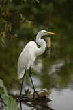 White egret. Perched on a log overlooking the water Stock Photos