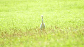 White Egret. stock footage
