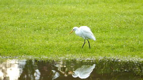 White Egret. stock video