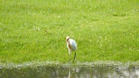 White Egret. stock footage