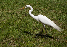 The white egret on a background of green grass. White  Crane Stock Images