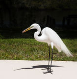 The white egret on a background of green grass. White  Crane Royalty Free Stock Image