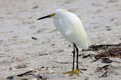 White Egret on a Beach Stock Photography