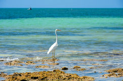 White Egret on beach Stock Image