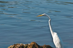 White Egret in Big Cypruss Preserve Royalty Free Stock Image