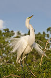 White Egret bird Stock Image