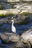 White egret bird Royalty Free Stock Photo