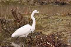 White egret bird Royalty Free Stock Photography