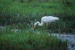 White Egret catching Fiish. A white egret bird catching a fish from the paddy field on a beautiful morning Royalty Free Stock Photo