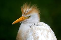 White Egret Bird Stock Photography