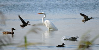 White egret bird and ducks, Lithuania Stock Images