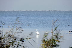White egret bird and ducks, Lithuania Stock Photography