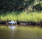 White Egret Bird Finds Dinner NC Marsh Stock Images
