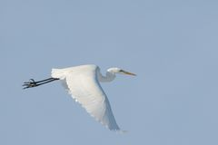 White Egret bird in flight Royalty Free Stock Images