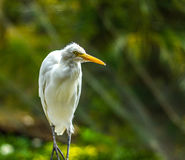 White Egret royalty free stock images