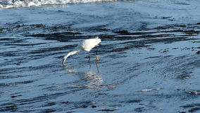 White Egret Bird Hunting for Food in Tide Pools stock video footage