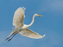 White Egret Bird In Flight Stock Photography
