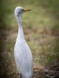The white egret. Royalty Free Stock Photos