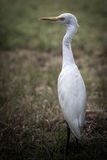 The white egret. Stock Photography