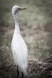 The white egret. Royalty Free Stock Photo