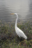 White Egret Bird searching food at marsh Stock Photo