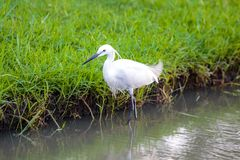 White egret bird walking in the lake water. Royalty Free Stock Photography