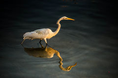 A White Egret Bird and Water Reflection. White egret fishing in the bay Stock Images