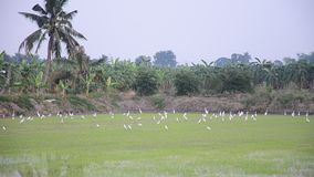 White egret Birds on rice fields at sunset time in Nonthaburi Thailand stock video footage