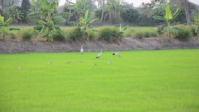 White egret Birds on rice fields at sunset time in Nonthaburi Thailand stock video