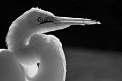 White Egret in Black & White Royalty Free Stock Photo