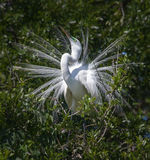 White egret in breeding motion Royalty Free Stock Images