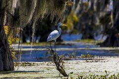 White Egret in Cajun Swamp & Lake Martin, near Breaux Bridge and stock photos