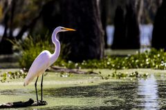 White Egret in Cajun Swamp & Lake Martin, near Breaux Bridge and stock images