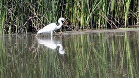 White Egret Catching And Eating Among Reeds stock video