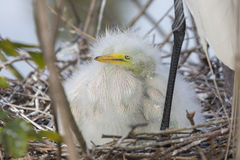 White Egret Chick Stock Photography