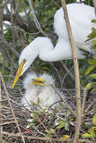 White Egret With Chicks on Nest Stock Images
