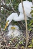 White Egret With Chicks on Nest Stock Images