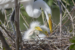 White Egret With Chicks on Nest Stock Photo