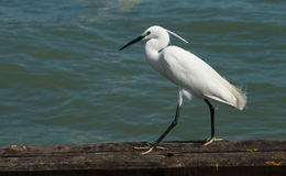 White egret, close-up. Stock Photography