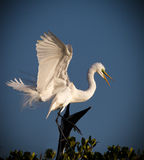 White egret comes into mangroves Royalty Free Stock Image