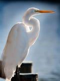 White Egret on Dock Stock Image