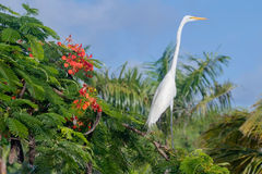 White egret, Dominican Republic Royalty Free Stock Image