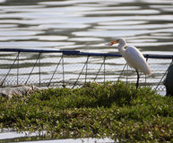 White egret eat fish Stock Photography