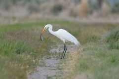 White Egret Eating A Rodent royalty free stock images